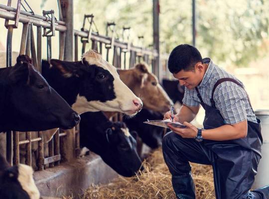 Man controleert koeien in stal